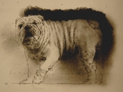 Bulldog study. Black chalk drawing.