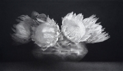King Proteas 1. Black chalk and pencil drawing. 41 x 70 cm.