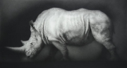 White Rhinoceros. Black chalk and pencil drawing. 194 x 105 cm.