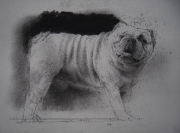 Study for a Bulldog. Chalk and pencil drawing. 12.7 x 16 cm.