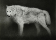 Wolf. Chalk drawing. 55.7 x 75.2 cm.