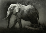 Elephant. Chalk drawing. 98 x 137 cm.